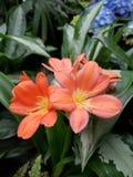 Baiser orange par le soleil images stock