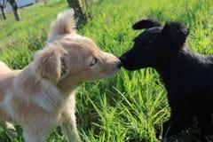 Baiser par deux chiens, noirs et blancs image libre de droits