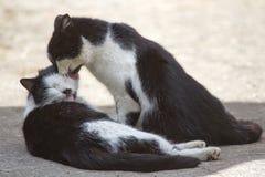Baisers amicaux de deux chats Images libres de droits