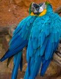 Baisers bleus de deux beaux perroquets Photos libres de droits