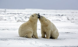BAISERS D'OURS Images stock