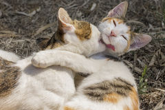 Baisers de deux chats Photos stock