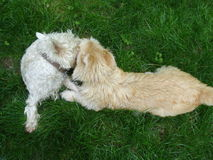 Baisers de deux chiens Images stock