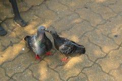 Baisers de deux pigeons Images libres de droits