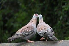 Baisers de Guinée de Culumba de deux colombes de roche Photographie stock libre de droits