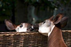 Baisers de l'okapi Images libres de droits