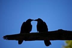 Baisers de la silhouette de corneilles Photo libre de droits