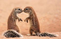 Baisers des écureuils Image libre de droits