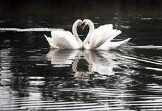 Baisers des couples des cygnes avec les cous en forme de coeur Image libre de droits