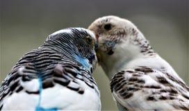 Baisers des oiseaux Photographie stock