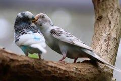 Baisers des oiseaux Photo libre de droits