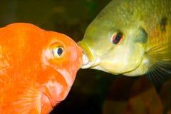 Baisers des poissons Photographie stock