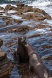 Baisers du californianus de Zalophus d'otarie de la Californie Image libre de droits