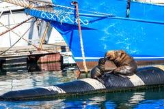 Baisers du phoque de mère et du bébé phoque dans la baie de Hout Image stock