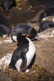Baisers du pingouin de Rockhopper Image stock
