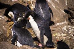 Baisers du pingouin de Rockhopper Photos libres de droits