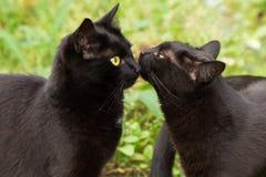 Baisers mignons de deux chats noirs Image libre de droits
