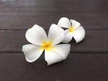 Baisse blanche de fleur de frangipani de couples sur la terrasse en bois image stock