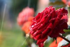 Baisse de bourgeon de rose d'écarlate Image libre de droits