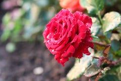 Baisse de bourgeon de rose d'écarlate Photo stock