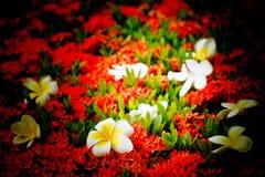 Baisse de fleur de Frangipani sur la couleur de transitoire de fleur, discrète photographie stock