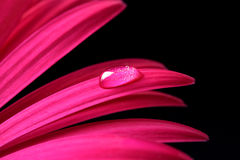 Baisse de l'eau sur la fleur rose de Gerbera Photos stock