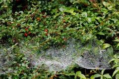 Baisse de l'eau sur la toile d'araignée Photographie stock