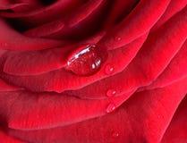 Baisse de l'eau sur une rose Images stock