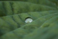 Baisse de pluie sur la feuille de Hosta Images stock