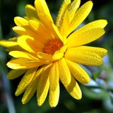 Baisse de rosée de matin sur la fleur Image libre de droits