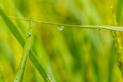 Baisse de rosée sur des feuilles d'herbe Photographie stock libre de droits
