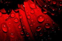 Baisse de rosée sur le gerbera rouge images libres de droits