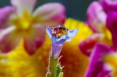 Baisse de rosée sur une fleur bleue Photo libre de droits