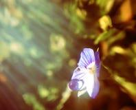 Baisse légère sur le pétale de la véronique persane de fleur bleue ou du persica de Veronica images stock