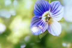 Baisse légère sur le pétale de la véronique persane de fleur bleue ou le persica et la fourmi de Veronica photos stock