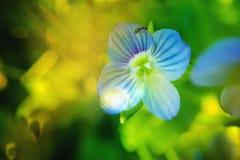 Baisse légère sur le pétale de la véronique persane de fleur bleue ou le persica et la fourmi de Veronica image stock