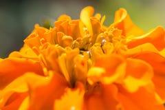 Baisse miroitante de l'eau sur la fleur Photographie stock libre de droits