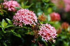Baisse orange rose rouge de pluie de feuille de vert de fleur de transitoire d'ixora photographie stock libre de droits