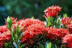 Baisse orange rose rouge de pluie de feuille de vert de fleur de transitoire d'ixora photo stock