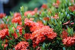 Baisse orange rose rouge de pluie de feuille de vert de fleur de transitoire d'ixora images stock
