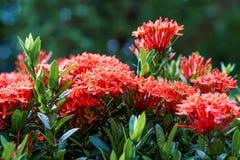 Baisse orange rose rouge de pluie de feuille de vert de fleur de transitoire d'ixora images libres de droits