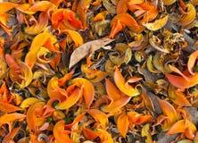 Baisse rouge de fleur de Dhak en terre Images libres de droits