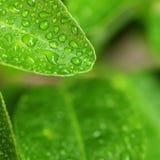 Baisse verte de feuille et d'eau de citron Photographie stock