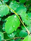 Baisses étonnantes de l'eau sur les feuilles vertes Photographie stock libre de droits