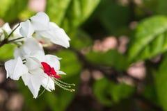 Baisses brillantes de l'eau sur la floraison de vigne de défenseur de la veuve et de l'orphelin Image stock