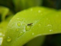 Baisses de fourmi et d'eau sur des feuilles Photo stock