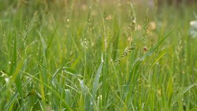 Baisses de l'égoutture de ressort ou de pluie d'été sur l'herbe de pré verte banque de vidéos