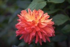 Baisses de l'eau de fleurs Images stock