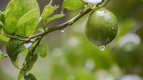Baisses de l'eau de pluie de longueur de fruit de chaux banque de vidéos