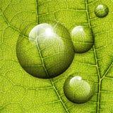 Baisses de l'eau de vecteur sur la feuille verte Photographie stock libre de droits